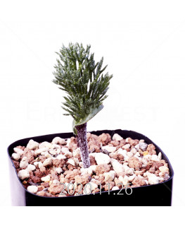Eriospermum cervicorne エリオスペルマム ケルビコルネ MRO99  18645