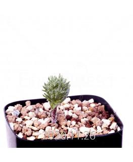 Eriospermum cervicorne エリオスペルマム ケルビコルネ MRO99  18657