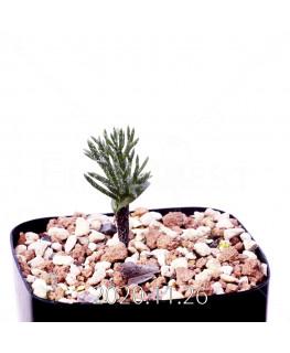 Eriospermum cervicorne エリオスペルマム ケルビコルネ MRO99  18662
