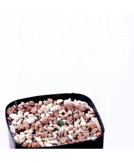 Eriospermum cervicorne エリオスペルマム ケルビコルネ MRO99  18663
