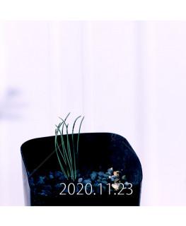 Drimia uranthera ドリミア ウランテラ EQ640  18710