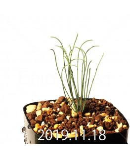 ドリミア ウランテラ EQ640 子株 18711