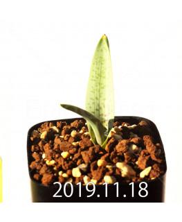 ラケナリア メディアナ DMC10319 子株 18758