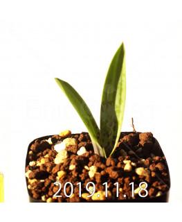 ラケナリア メディアナ DMC10319 子株 18759
