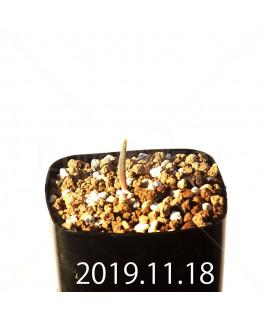 ラケナリア メディアナ DMC10319 子株 18761