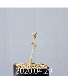オーニソガラム ムルチフォリウム EQ857 子株 18808