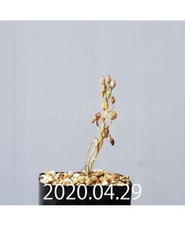 オーニソガラム ムルチフォリウム EQ857 子株 18811