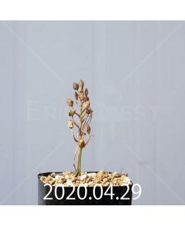 オーニソガラム ムルチフォリウム EQ857 子株 18815
