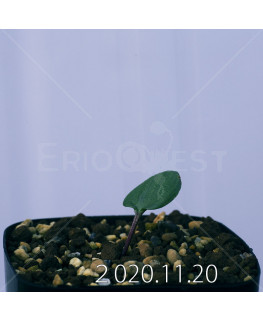 Eriospermum sp. エリオスペルマム 未識別種 cf. アルキコルネ  18870