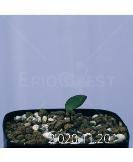 Eriospermum sp. エリオスペルマム 未識別種 cf. アルキコルネ  18873
