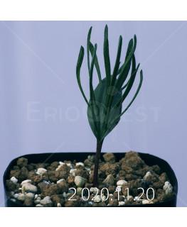 Eriospermum sp. エリオスペルマム 未識別種 cf. アルキコルネ  18876