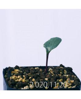 Eriospermum sp. エリオスペルマム 未識別種 cf. アルキコルネ  18910
