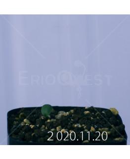 Eriospermum sp. エリオスペルマム 未識別種 cf. アルキコルネ  18921