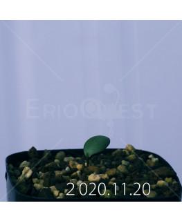 Eriospermum sp. エリオスペルマム 未識別種 cf. アルキコルネ  18922