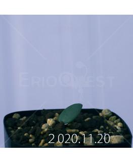 Eriospermum sp. エリオスペルマム 未識別種 cf. アルキコルネ  18923