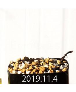 エリオスペルマム アフィルム IB10404 実生 19068