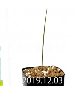 モラエア シミュランス EQ866 子株 19170
