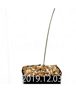 モラエア シミュランス EQ866 子株 19184