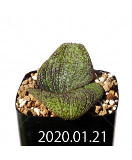 Massonia longipes マッソニア ロンギペス EQ870  19231