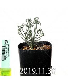 アルブカ ナマクエンシス Worcester × ES15533 実生 19774