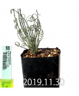 アルブカ ナマクエンシス Worcester × ES15533 実生 19783