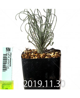 アルブカ ナマクエンシス Worcester × ES15533 実生 19784