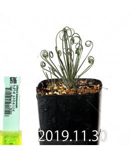 アルブカ ナマクエンシス Worcester × ES15533 実生 19786