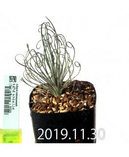 アルブカ ナマクエンシス Worcester × ES15533 実生 19790
