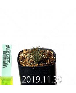 アルブカ ナマクエンシス Worcester × ES15533 実生 19795