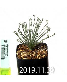 アルブカ ナマクエンシス Worcester × ES15533 実生 19799