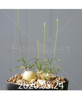 オーニソガラム トルツオスム DMC13646 子株 19976