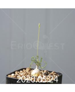 オーニソガラム トルツオスム DMC13646 子株 19981