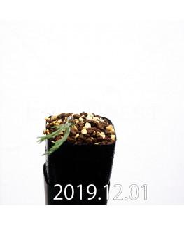 エリオスペルマム プロリフェルム EQ169 子株 20000
