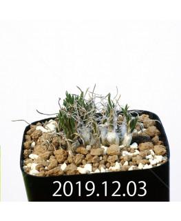 オーニソガラム sp. EQ391 子株 20037