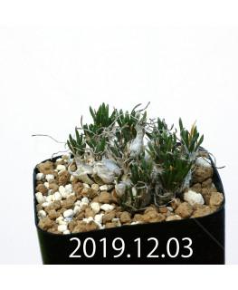 オーニソガラム sp. EQ391 子株 20053