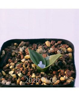 Lachenalia ensifolia ラケナリア エンシフォリア 白花  20075