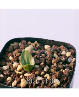 Lachenalia ensifolia ラケナリア エンシフォリア 白花  20076