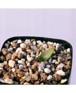 Lachenalia ensifolia ラケナリア エンシフォリア 白花  20078