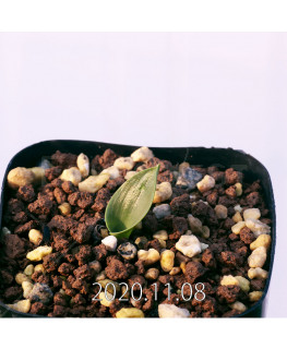 Lachenalia ensifolia ラケナリア エンシフォリア 白花  20083