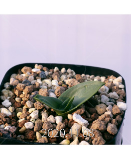 Lachenalia ensifolia ラケナリア エンシフォリア 白花  20086