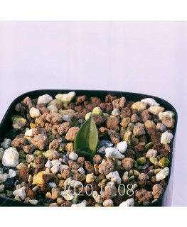 Lachenalia ensifolia ラケナリア エンシフォリア 白花  20088