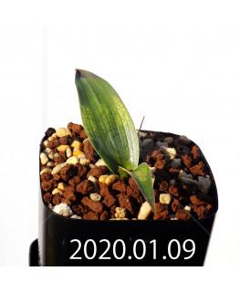 ラケナリア カルチコラ IB22635 実生 20114
