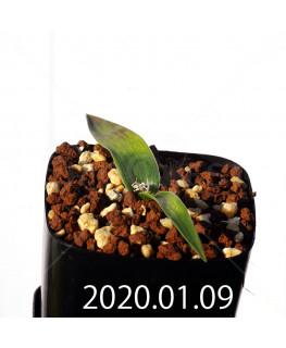 ラケナリア カルチコラ IB22635 実生 20116