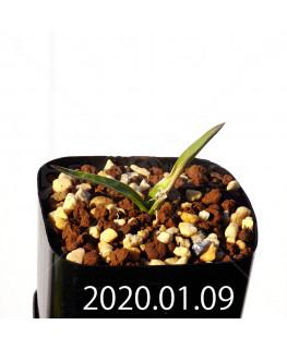 ラケナリア カルチコラ IB22635 実生 20118