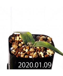 ラケナリア カルチコラ IB22635 実生 20120