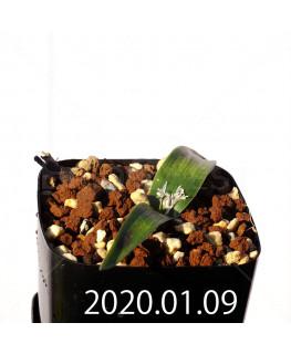 ラケナリア カルチコラ IB22635 実生 20121