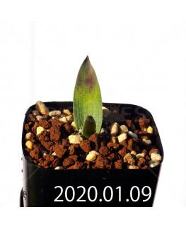 ラケナリア カルチコラ IB22635 実生 20125