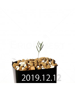 Eriospermum aphyllum エリオスペルマム アフィルム EQ125  20147