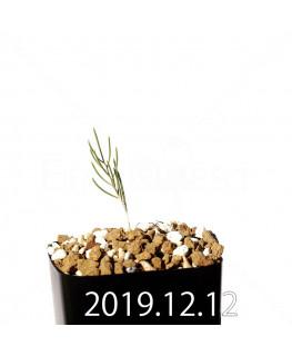 Eriospermum aphyllum エリオスペルマム アフィルム EQ125  20154