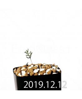 エリオスペルマム アフィルム EQ125 実生 20164